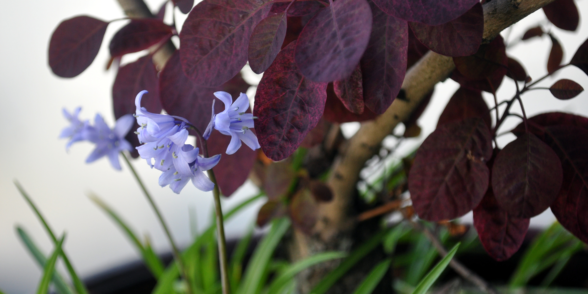 Photo: bluebells in a planter