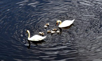 Photo: swans and cygnets on the River Aire.